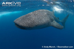 Image of a whale shark swimming